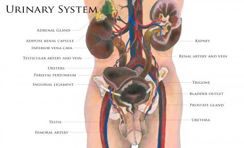 Excretory System Map